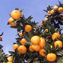 采摘水果(橘子)